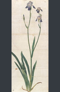Albrecht Dürer, 'Iris', probably about 1503 © Kunsthalle Bremen